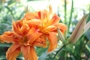 double tiger lilies